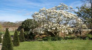 Magnificient Magnolia Tree at Hole Park