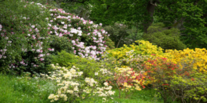 Rhododendrons and azaleas at Hole Park