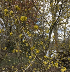 Witch Hazel in Dunorlan Park by Diana Lamb