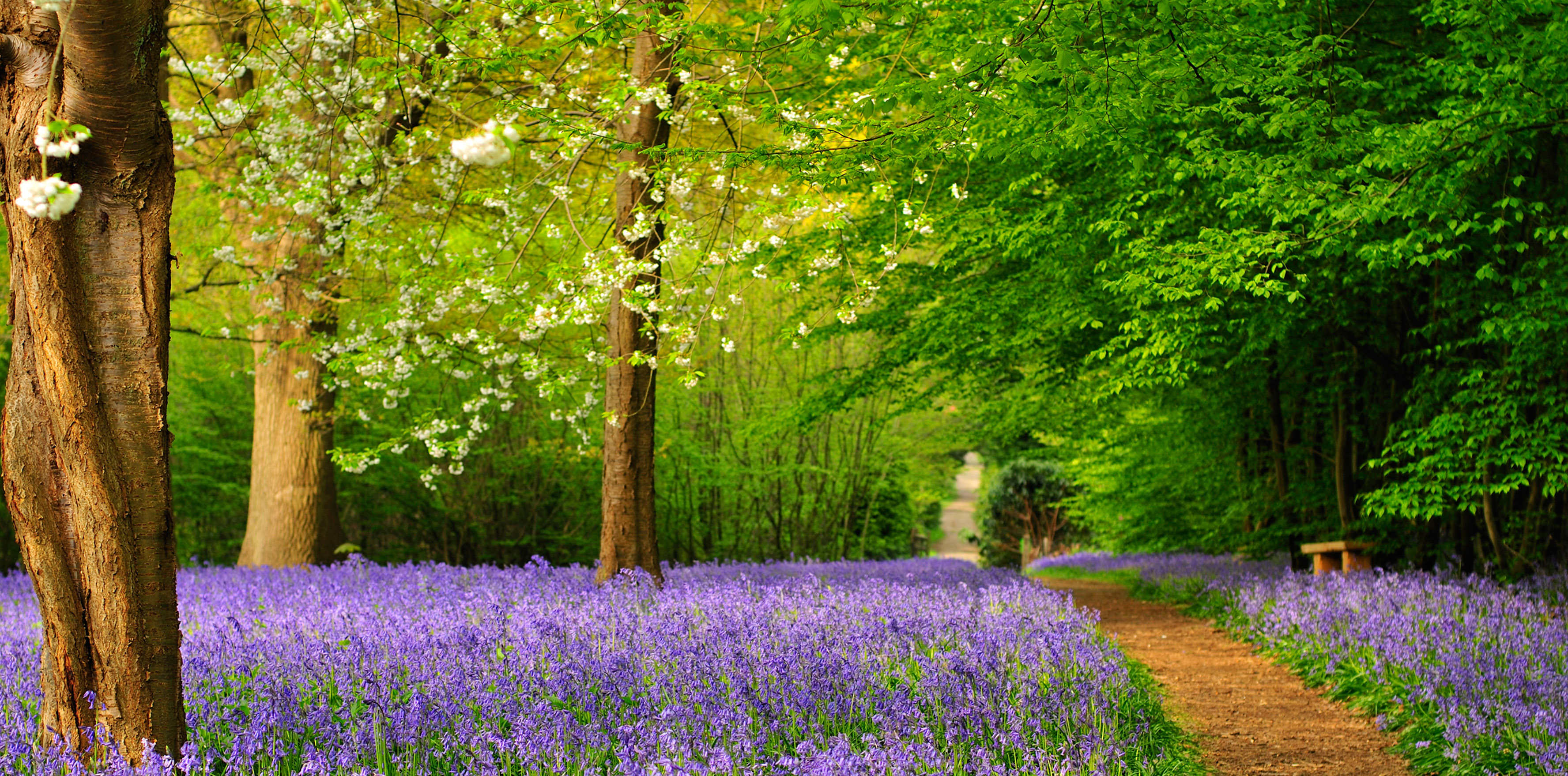 Bluebell Path at Hole Park