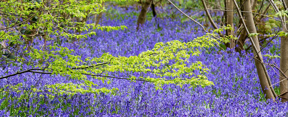 Bluebell Spectacular at Hole Park Gardens near Tunbridge Wells