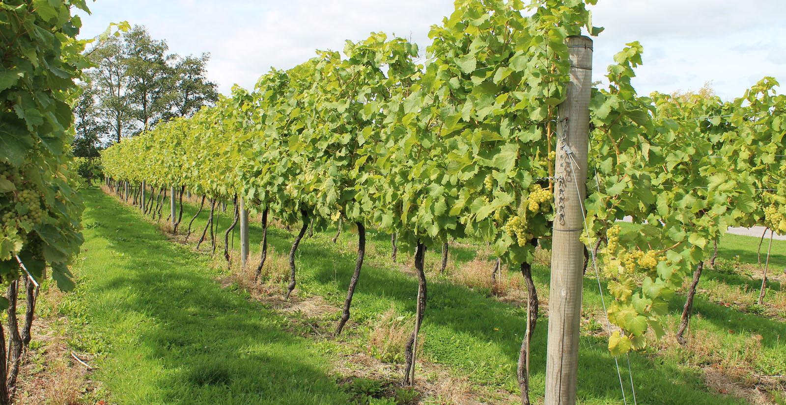 Lamberhurst Vines by Lynda Grigsby
