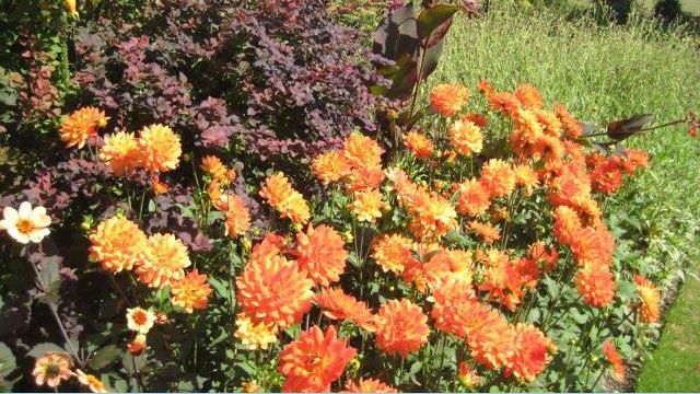 Pashley Manor Gardens, Orange Dahlias